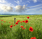 Poppies blooming in the countryside