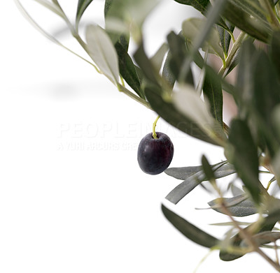 Buy stock photo Image of black olive on a branch isolated on white background