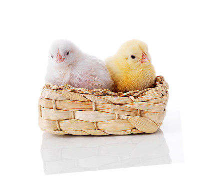Buy stock photo Small fluffy easter chickens in a basket - Isolated on white background