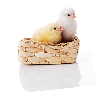 Buy stock photo Small cute easter chicks in a basket isolated on white background