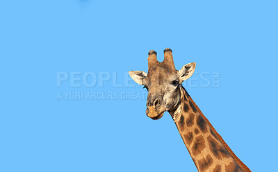 Buy stock photo Portrait of a beautiful giraffe -  South Africa