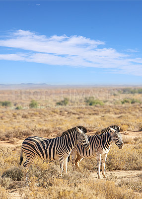Buy stock photo African zebra in the wild  -  South Africa