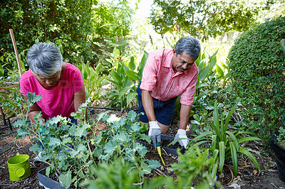 Buy stock photo Shot of a senior couple gardening together in their backyard