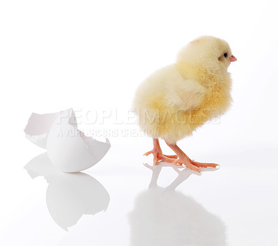 Buy stock photo Newborn yellow chicken isolated on white background