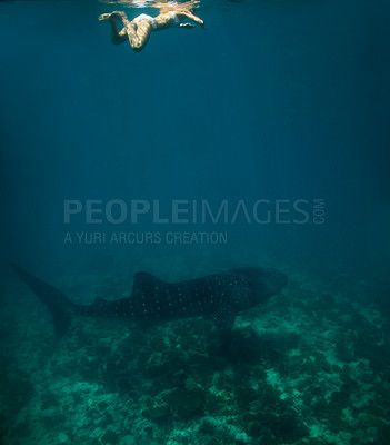 Buy stock photo Image of a woman swimming in the sea with a shark below her