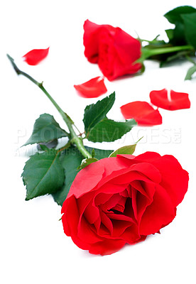 Buy stock photo Isolated rose on white background