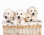 Brothers and sisters in a basket - puppies in a basket