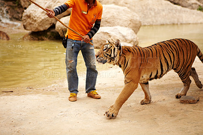 Buy stock photo Trainer with a stick watches over a majestic Indochinese tiger