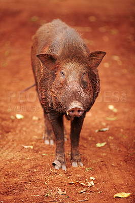 Buy stock photo Wild Thai boar looks at the camera