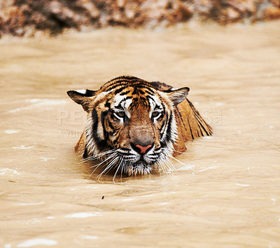 Buy stock photo Tiger cooling down in a dam