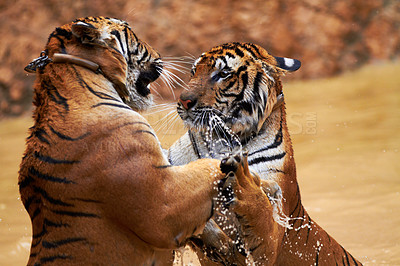 Buy stock photo Closeup of two tigers fighting on their hind legs