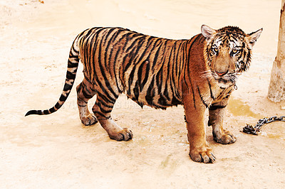 Buy stock photo Wet tiger standing and looking at the camera