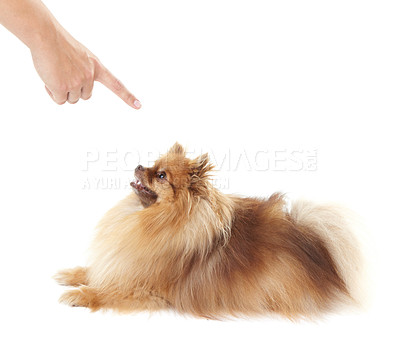 Buy stock photo Pomeranian lying down while being scolded by its owner - copyspace