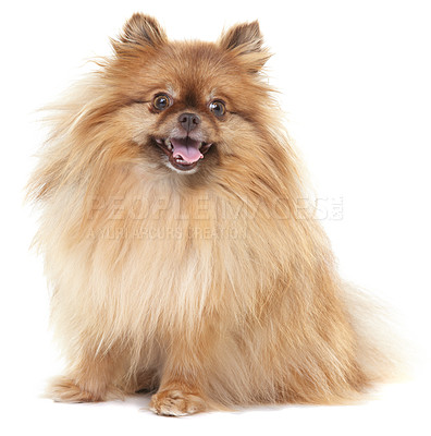 Buy stock photo Well-groomed pomeranian sitting down and looking at the camera - isolated