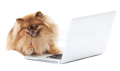 Buy stock photo Pomeranian dog lying in front of a white laptop