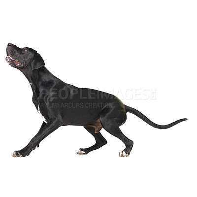 Buy stock photo Great dane getting ready to jump while isolated on white - full-length