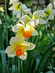 Spring flowers - narcissus