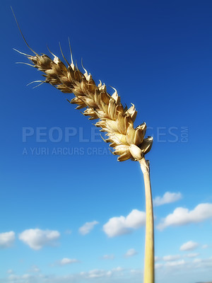 Buy stock photo Time for harvest - blue and yellow, sunny day.