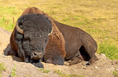 Buy stock photo A bison lying down on the ground in a relaxed state