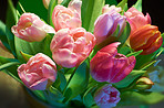 Pink tulips in bloom