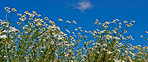 Daisies blooming in the sunshine