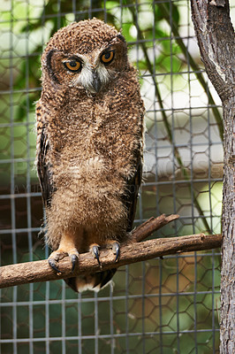Buy stock photo Shot of an owl in a zoo enclosure