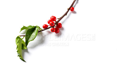 Buy stock photo An isolated shot of fresh holly