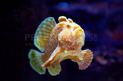 Buy stock photo This is a Commersons Frogfish or 'Antennarius Commerson' - photographed in an aquarium.