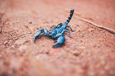 Buy stock photo High angle shot of a black scorpion on the forest floor