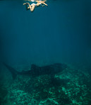 Young woman swiming in shallow water with a whale shark