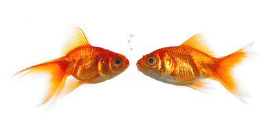 Buy stock photo High resolution image of goldfish kissing