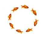 Goldfish swimming in a circle