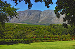 A photo of wine fields - Shot near Stellenbosch, Western Cape, South Africa.