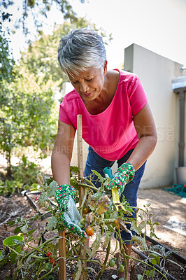 Buy stock photo Shot of a senior woman gardening in her backyard