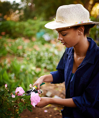 Buy stock photo Shot of a young woman trimming the roses in her garden