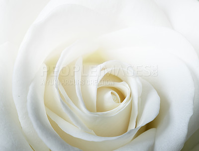 Buy stock photo A  macro photo of a beautiful white rose