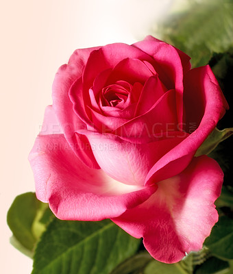 Buy stock photo A photo of a beautiful rose