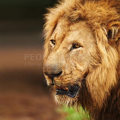 Buy stock photo Cropped shot of a lion on the plains of Africa