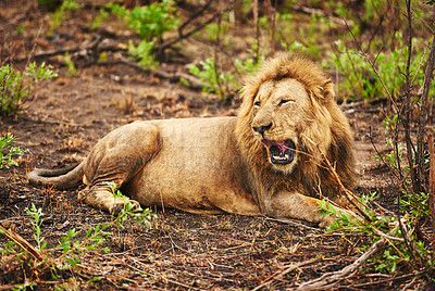 Buy stock photo Full length shot of a lion on the plains of Africa