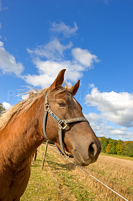 Buy stock photo Brown horse outdoor on a sunny day