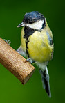 Telephoto of the Great TIt - garden bird