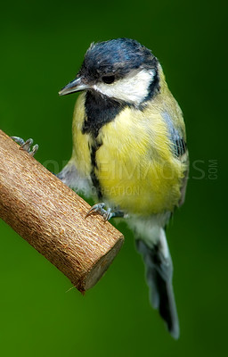 Buy stock photo Telephoto of the Great TIt - garden bird