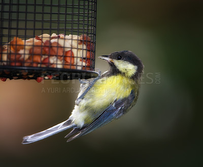 Buy stock photo The Great Tit - a beautiful garden bird