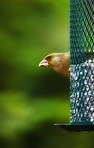 Carduelis chloris - Greenfinch. Beautiful garden bird in Europe, incl. Denmark