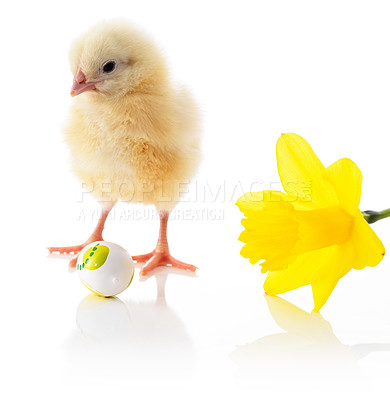 Buy stock photo Little chick with colored easter egg and spring flower isolated on white background