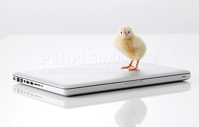 Buy stock photo Small chicken and laptop computer isolated on white background