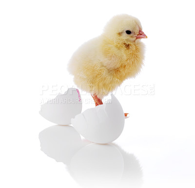 Buy stock photo Yellow small chick with egg shell isolated on white background