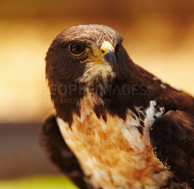 Buy stock photo Closeup portrait of a majestic bird of prey