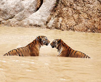 Buy stock photo Two Indochinese tigers in the water with collars around their necks
