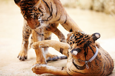 Buy stock photo Two tigers playing together at the Tiger Temple in Kanchanaburi